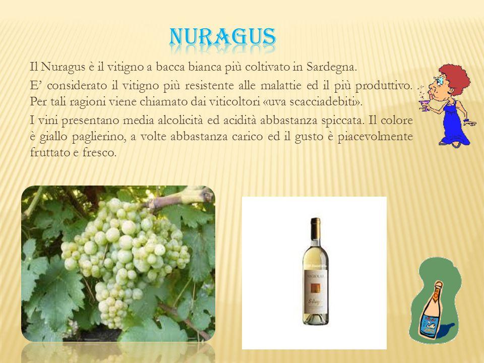 NURAGUS Il Nuragus è il vitigno a bacca bianca più coltivato in Sardegna.