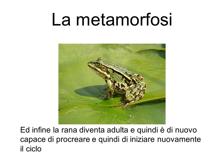 La metamorfosi Ed infine la rana diventa adulta e quindi è di nuovo capace di procreare e quindi di iniziare nuovamente il ciclo.