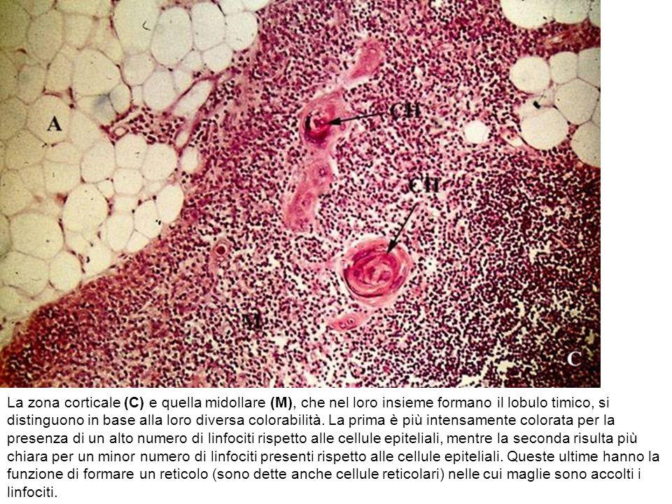 La zona corticale (C) e quella midollare (M), che nel loro insieme formano il lobulo timico, si distinguono in base alla loro diversa colorabilità.