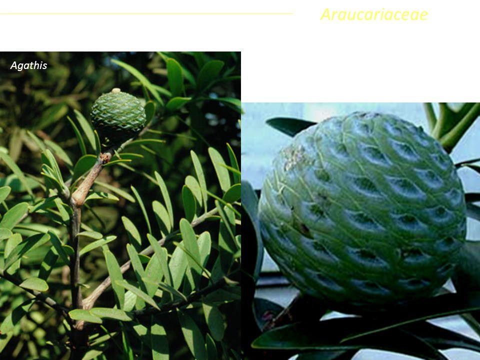 Araucariaceae Coniferophyta Pinopsida Pinidae - Conifere Agathis