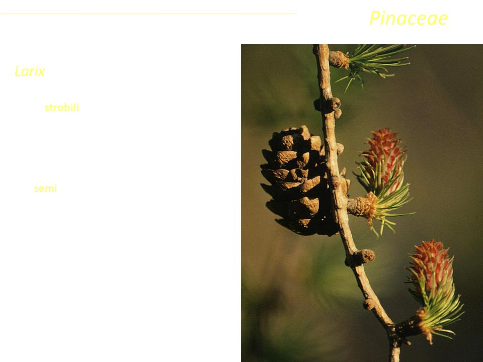 Pinaceae Larix Coniferophyta Pinopsida Pinidae - Conifere