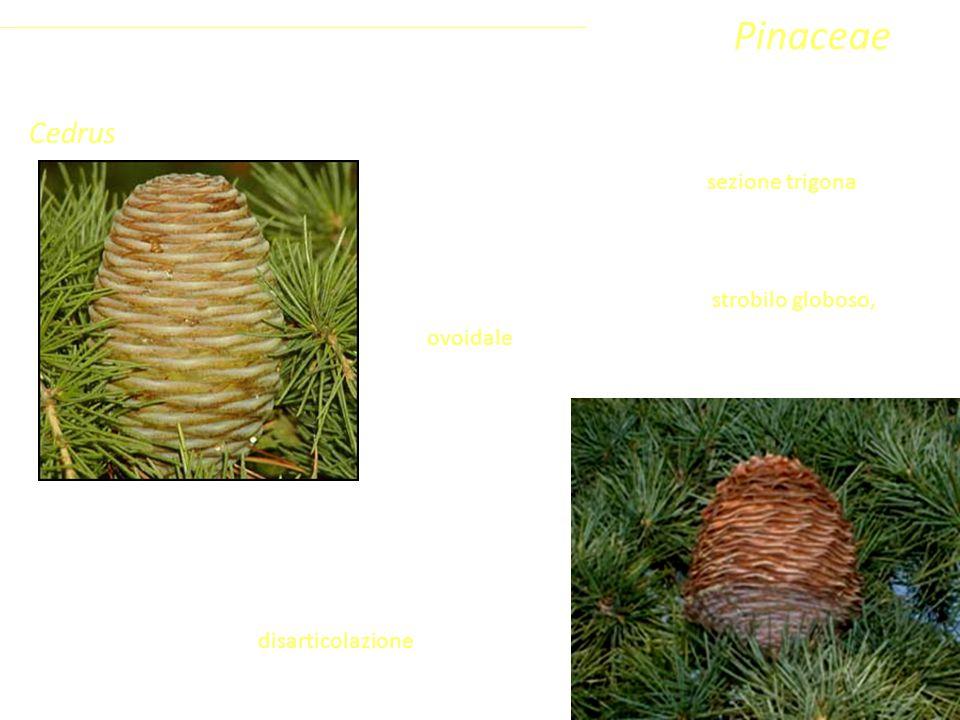 Pinaceae Cedrus Coniferophyta Pinopsida Pinidae - Conifere
