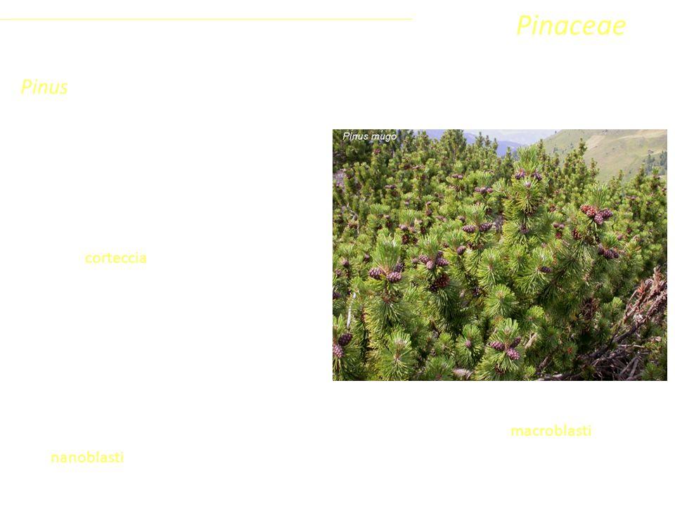 Pinaceae Pinus Coniferophyta Pinopsida Pinidae - Conifere