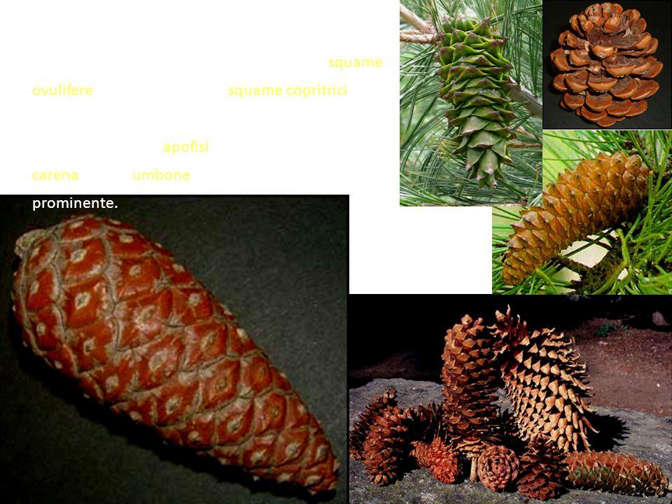 Anche la forma e la dimensione degli strobili varia con le specie, ma in tutte sono costituiti da squame ovulifere grandi e legnose, e squame copritrici piccole e membranose.