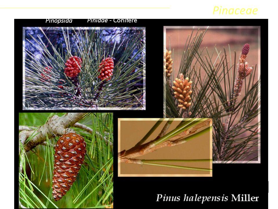 Pinaceae Coniferophyta Pinopsida Pinidae - Conifere Classe Phylum