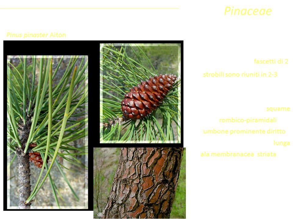 Pinaceae Coniferophyta Pinopsida Pinidae - Conifere