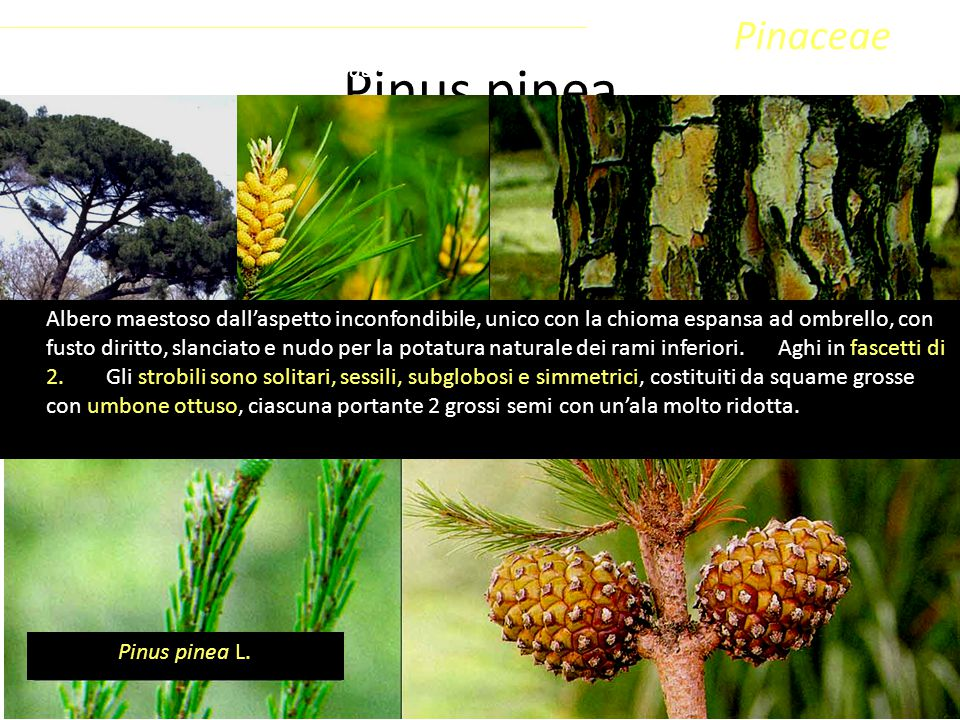 Pinus pinea Pinaceae Coniferophyta Pinopsida Pinidae - Conifere