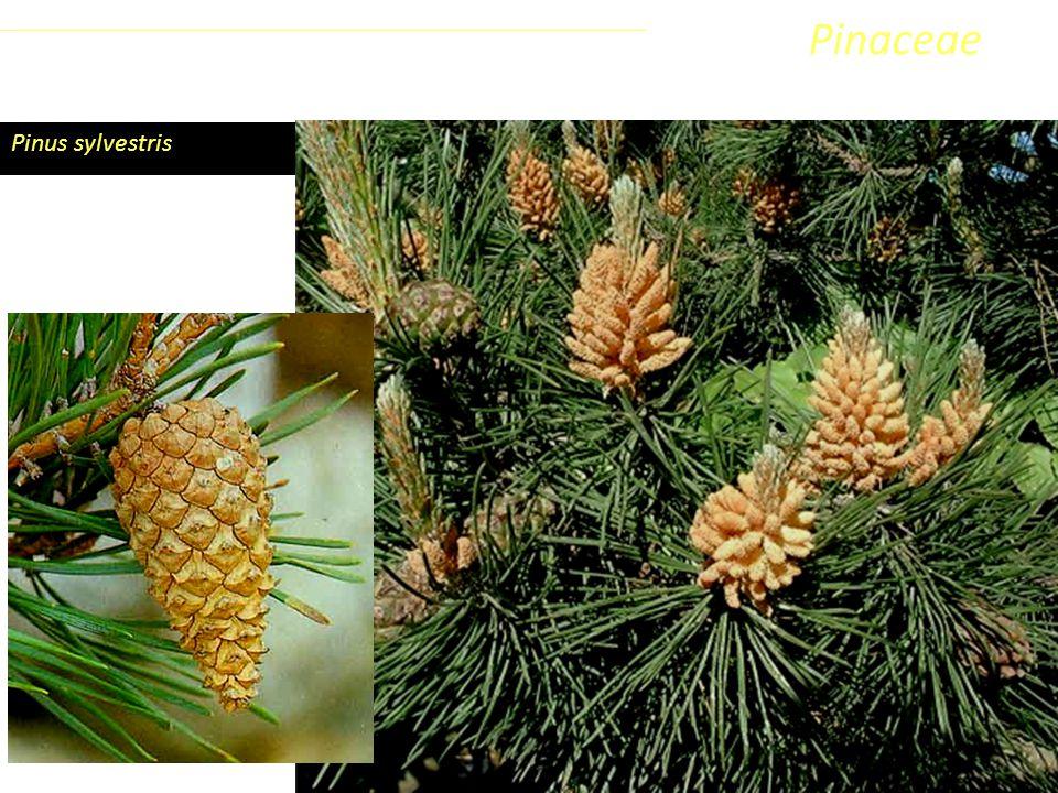 Pinaceae Coniferophyta Pinopsida Pinidae - Conifere Pinus sylvestris