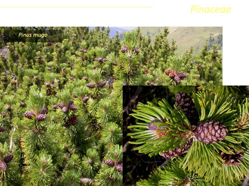 Pinaceae Coniferophyta Pinopsida Pinidae - Conifere Pinus mugo Classe