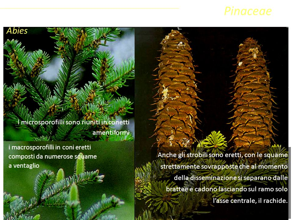 Pinaceae Abies Coniferophyta Pinopsida Pinidae - Conifere