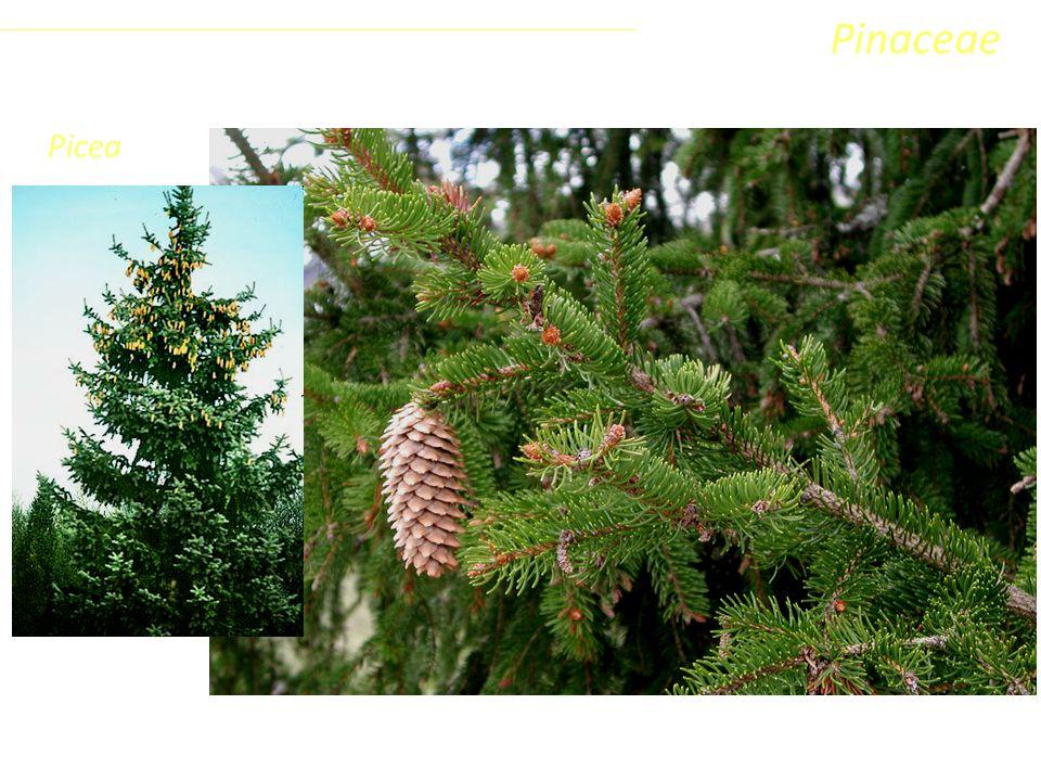 Pinaceae Picea Coniferophyta Pinopsida Pinidae - Conifere