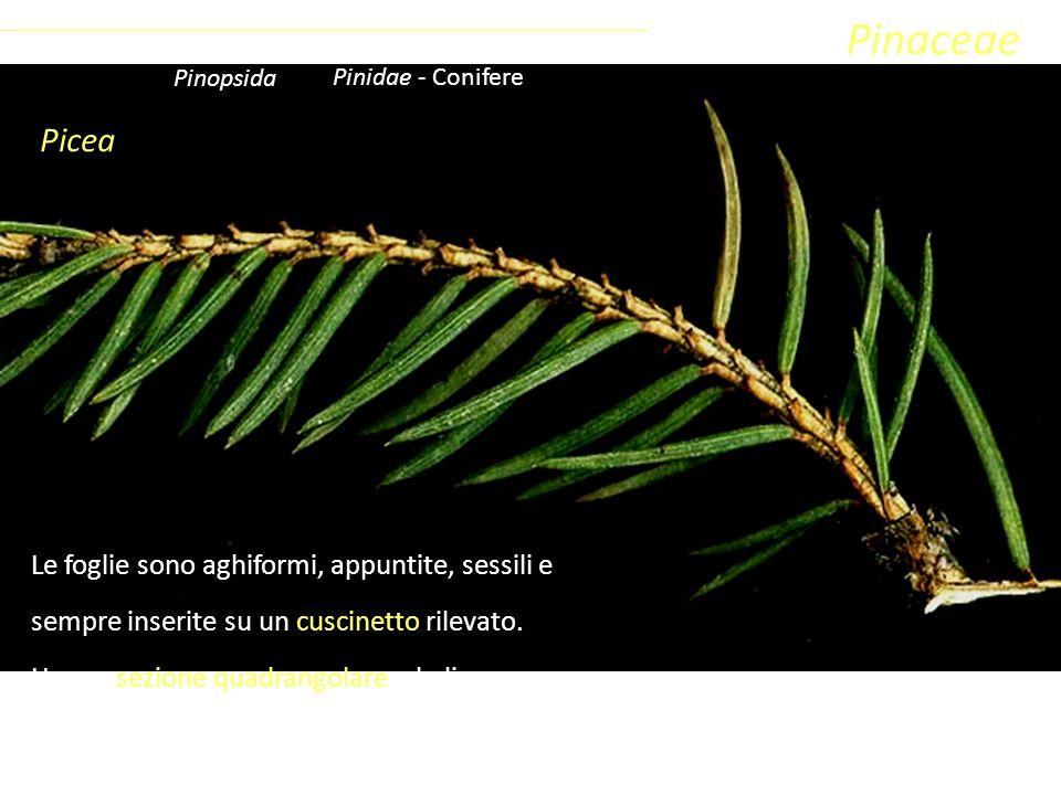 Pinaceae Picea Le foglie sono aghiformi, appuntite, sessili e