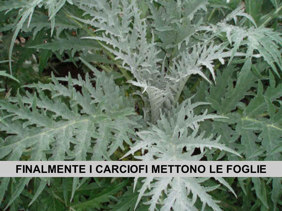 FINALMENTE I CARCIOFI METTONO LE FOGLIE