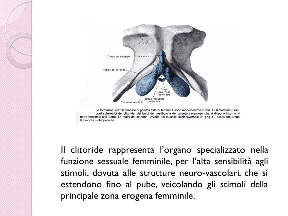 Il clitoride rappresenta l'organo specializzato nella funzione sessuale femminile, per l'alta sensibilità agli stimoli, dovuta alle strutture neuro-vascolari, che si estendono fino al pube, veicolando gli stimoli della principale zona erogena femminile.