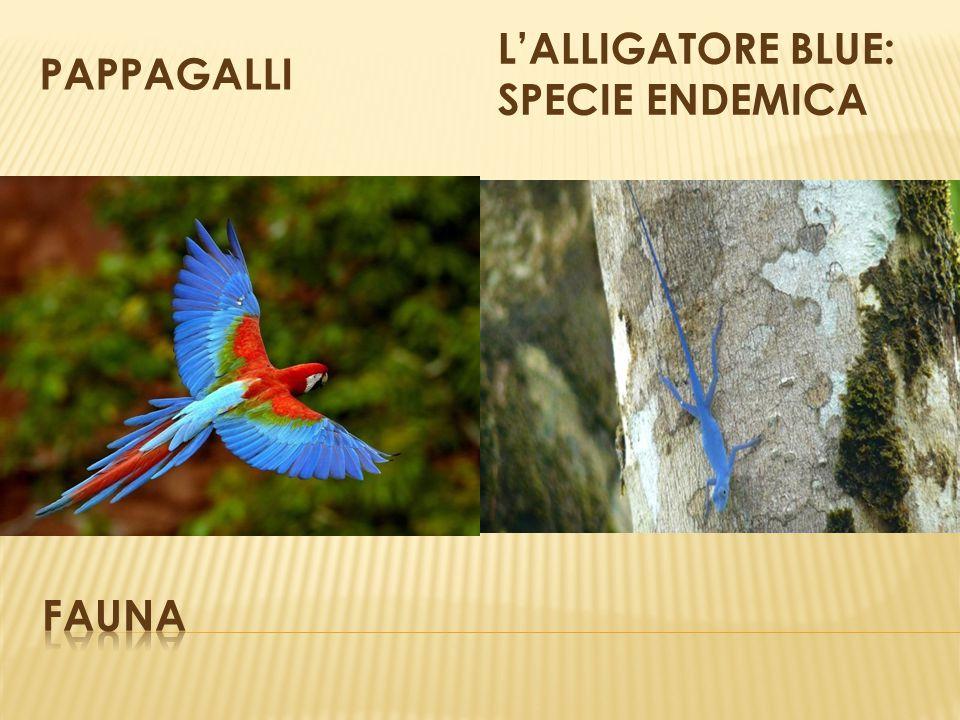 PAPPAGALLI L'ALLIGATORE BLUE: SPECIE ENDEMICA fauna