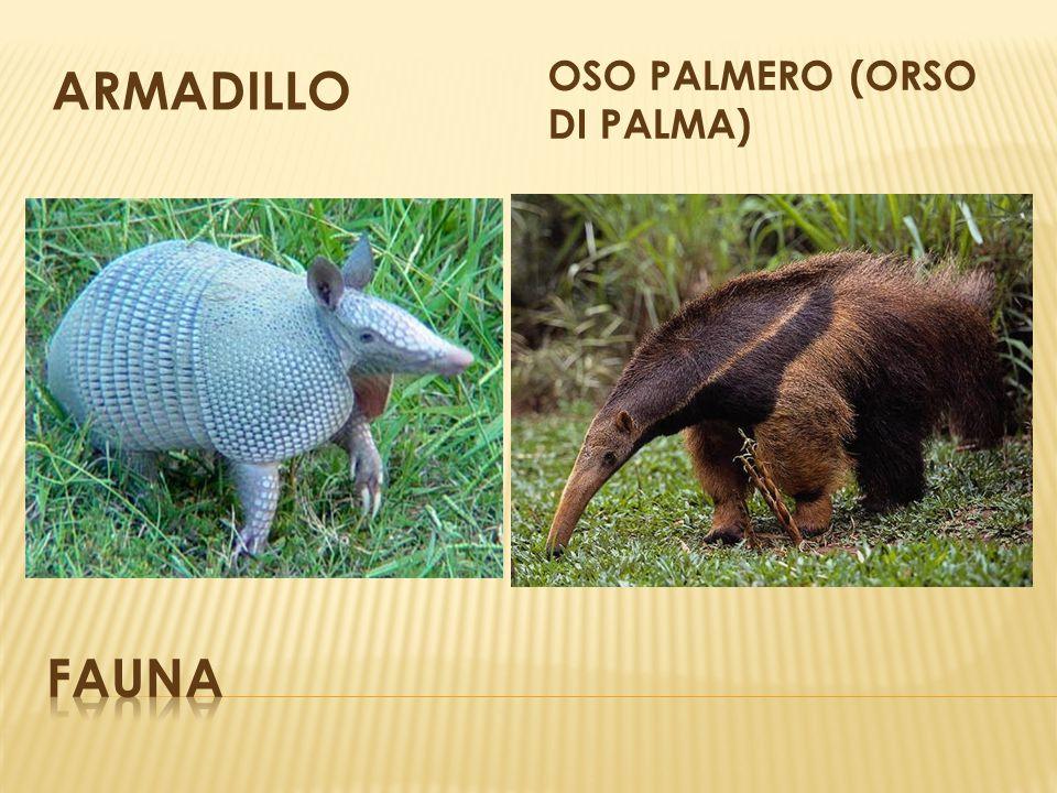 ARMADILLO OSO PALMERO (orso di palma) fauna