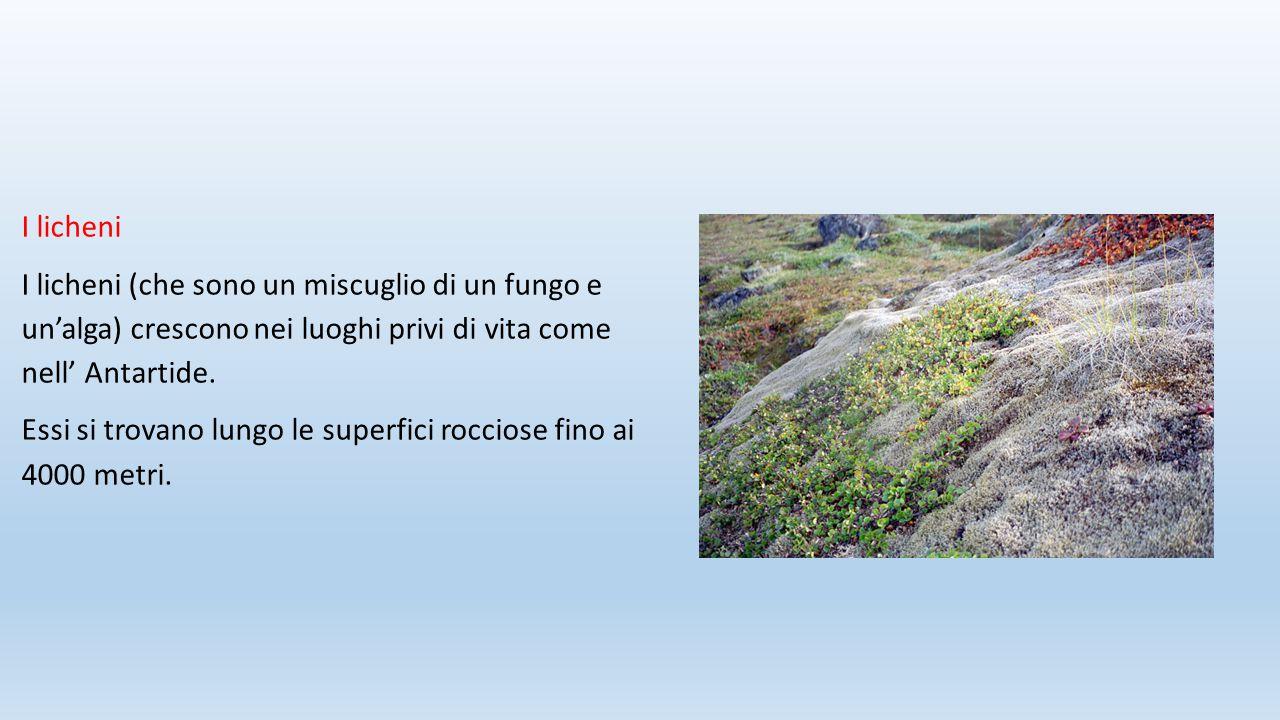I licheni I licheni (che sono un miscuglio di un fungo e un'alga) crescono nei luoghi privi di vita come nell' Antartide.