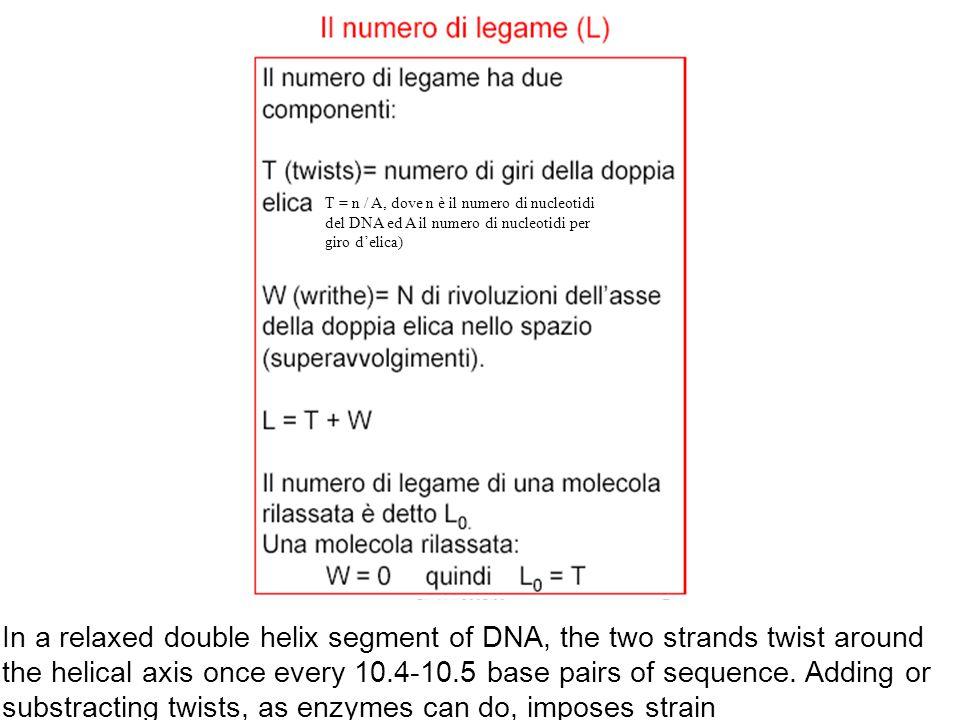 T = n / A, dove n è il numero di nucleotidi del DNA ed A il numero di nucleotidi per giro d'elica)