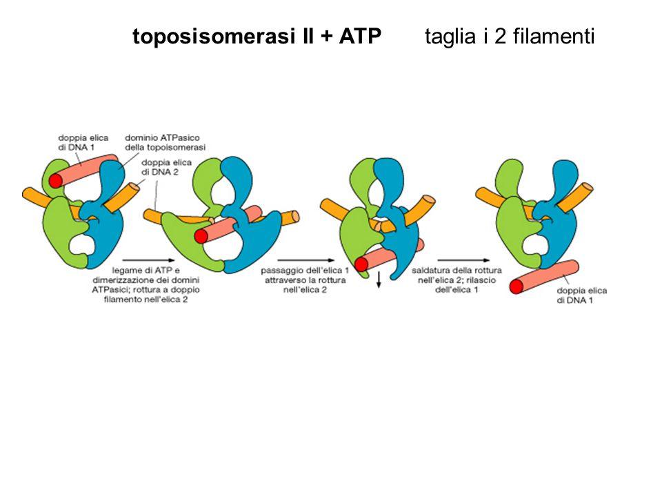 toposisomerasi II + ATP taglia i 2 filamenti