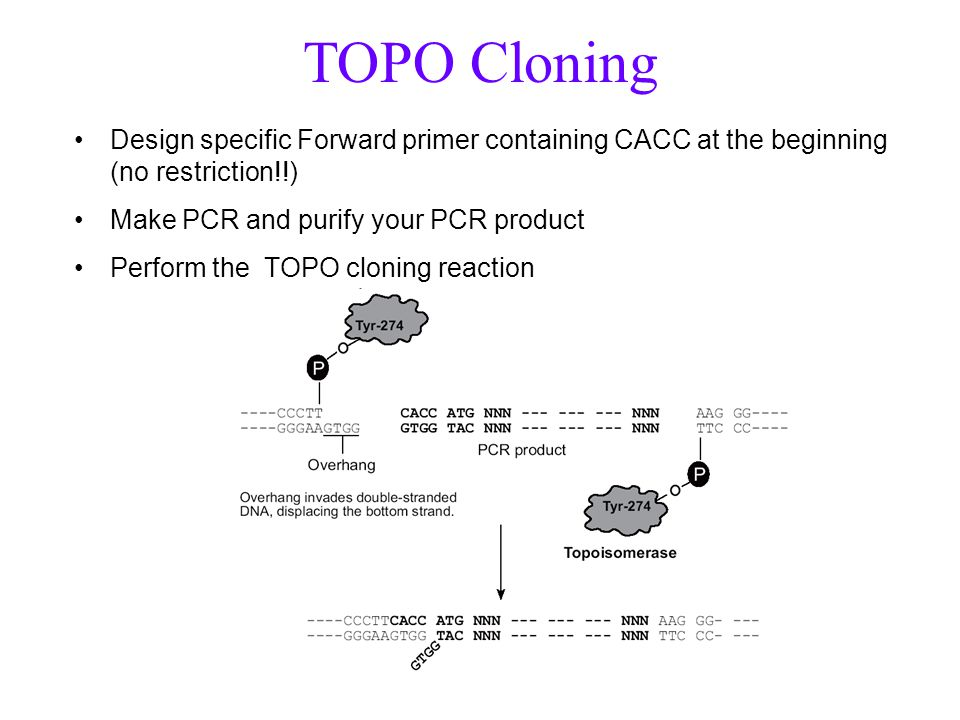 TOPO Cloning Design specific Forward primer containing CACC at the beginning (no restriction!!) Make PCR and purify your PCR product.