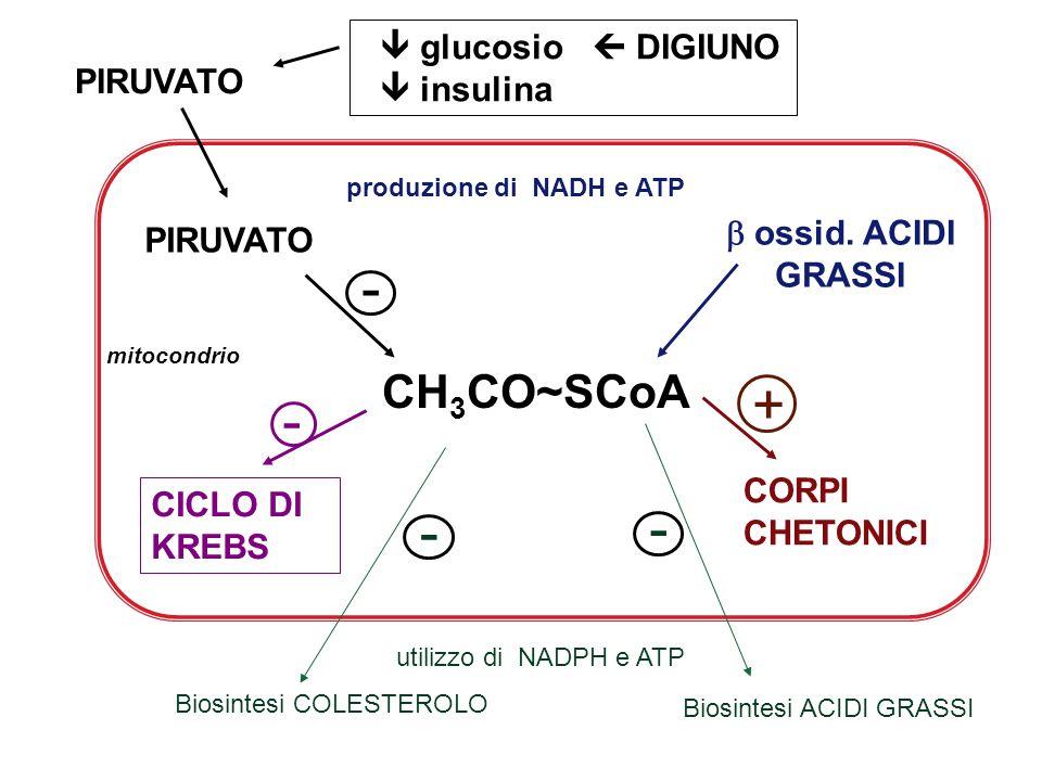 + - CH3CO~SCoA  glucosio  DIGIUNO  insulina  ossid. ACIDI PIRUVATO