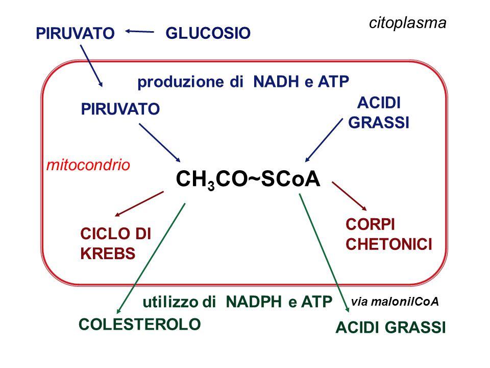 CH3CO~SCoA citoplasma GLUCOSIO produzione di NADH e ATP ACIDI PIRUVATO