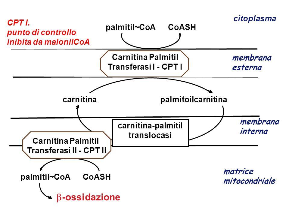 -ossidazione citoplasma CPT I. punto di controllo