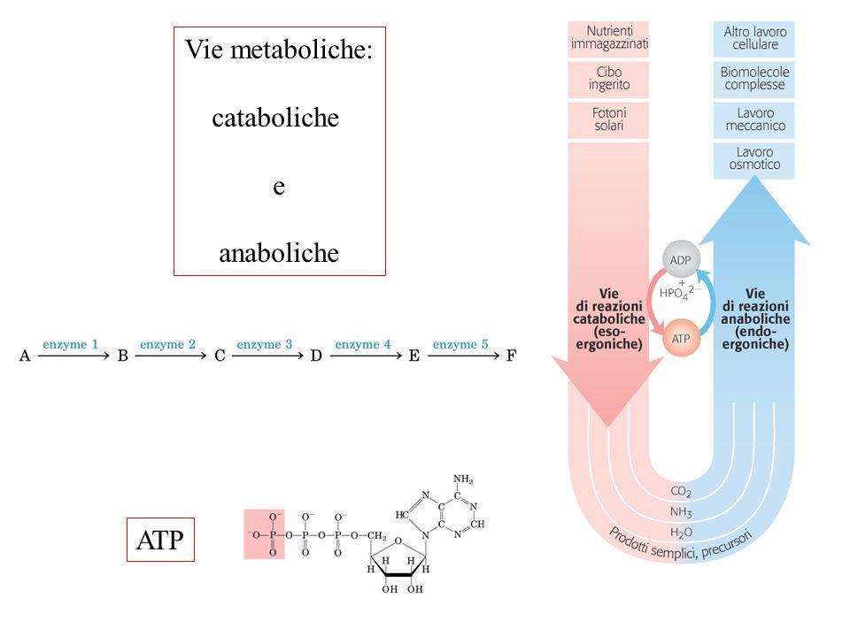 Vie metaboliche: cataboliche e anaboliche ATP