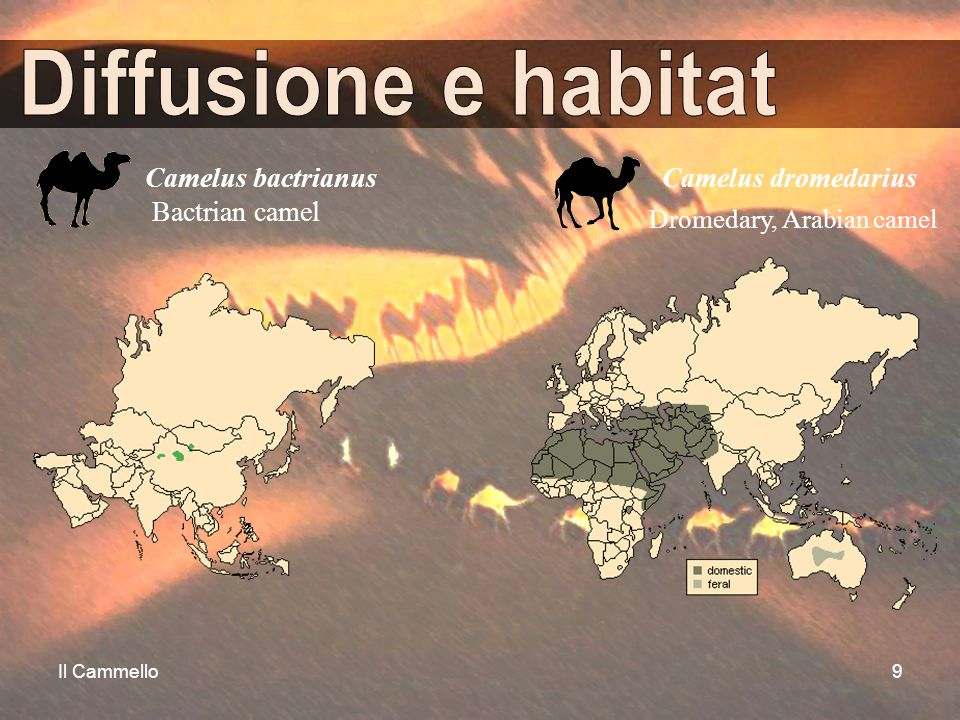 Diffusione e habitat Camelus bactrianus Bactrian camel