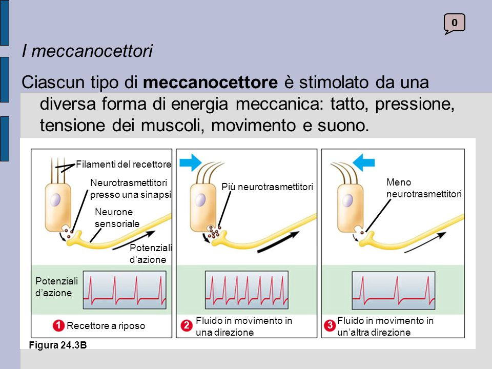 I meccanocettori