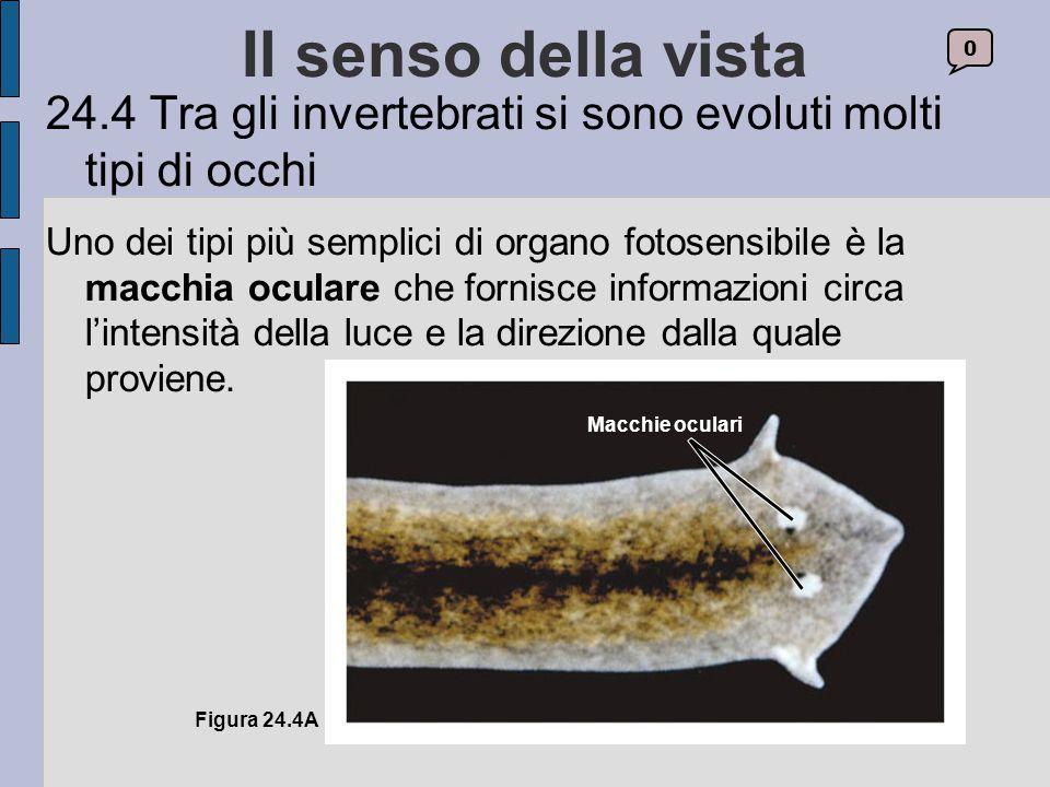 Il senso della vista 24.4 Tra gli invertebrati si sono evoluti molti tipi di occhi.