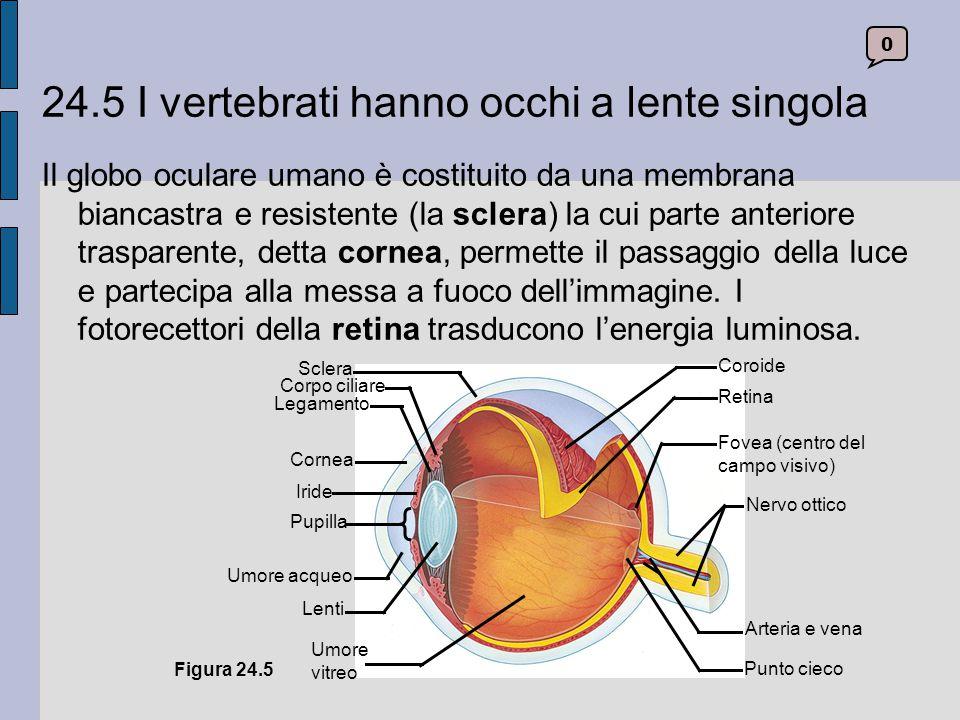 24.5 I vertebrati hanno occhi a lente singola