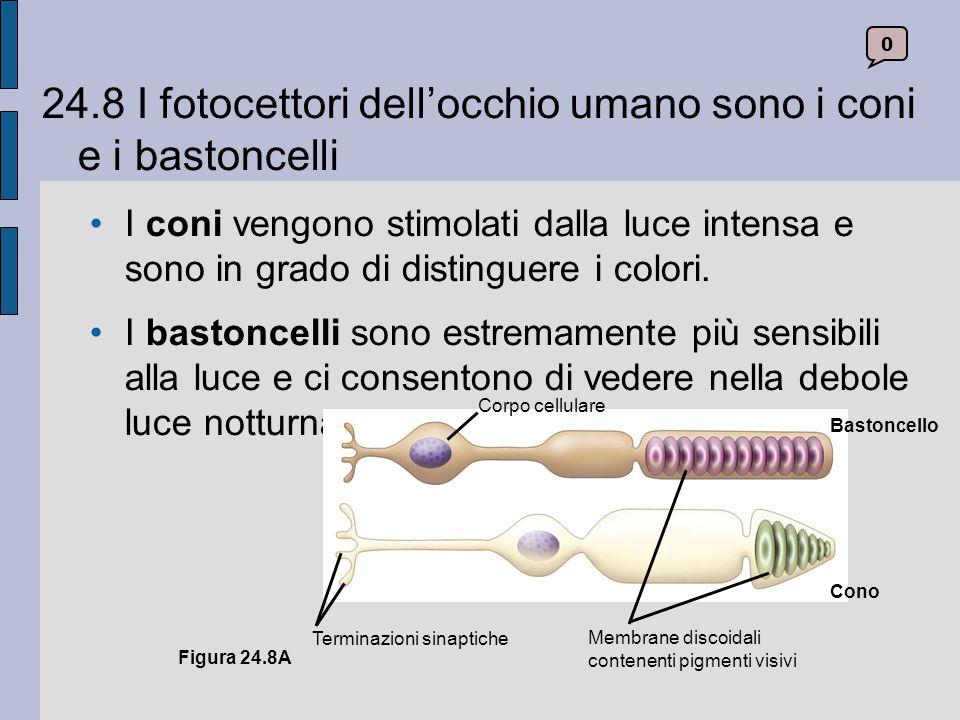24.8 I fotocettori dell'occhio umano sono i coni e i bastoncelli