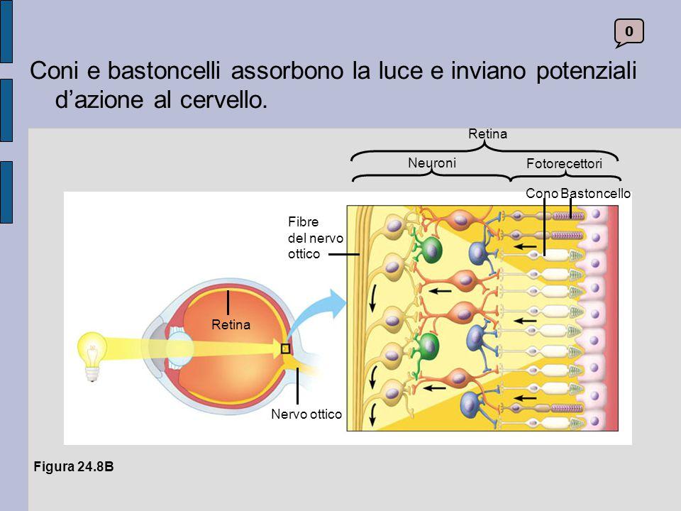 Coni e bastoncelli assorbono la luce e inviano potenziali d'azione al cervello. Cono. Bastoncello.