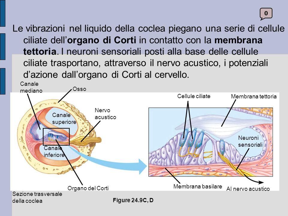 Le vibrazioni nel liquido della coclea piegano una serie di cellule ciliate dell'organo di Corti in contatto con la membrana tettoria. I neuroni sensoriali posti alla base delle cellule ciliate trasportano, attraverso il nervo acustico, i potenziali d'azione dall'organo di Corti al cervello.