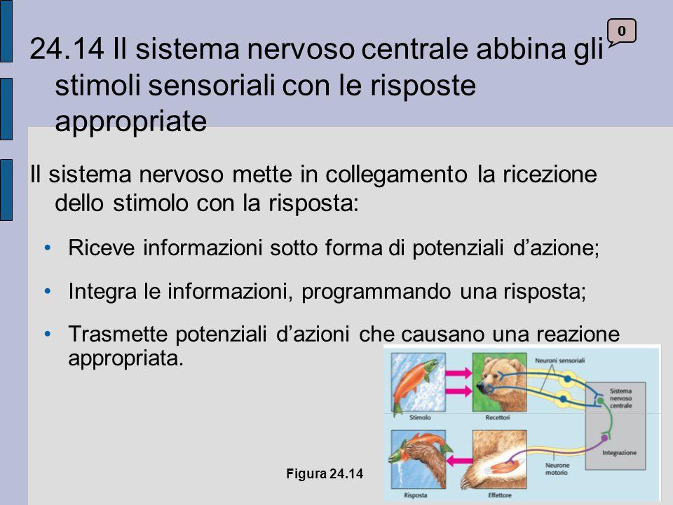 24.14 Il sistema nervoso centrale abbina gli stimoli sensoriali con le risposte appropriate