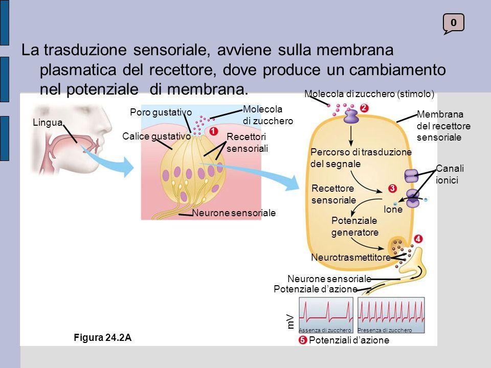 La trasduzione sensoriale, avviene sulla membrana plasmatica del recettore, dove produce un cambiamento nel potenziale di membrana.
