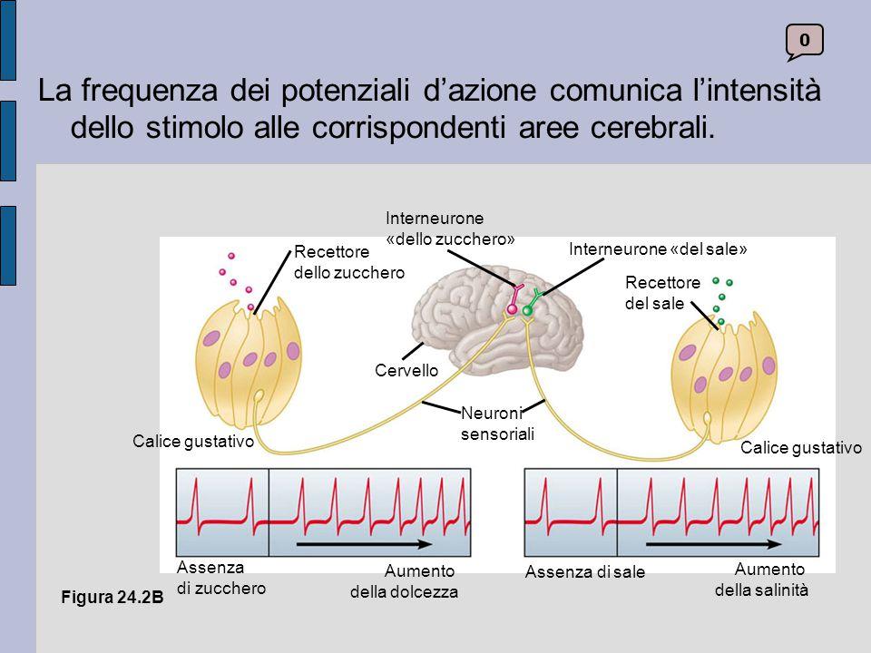 La frequenza dei potenziali d'azione comunica l'intensità dello stimolo alle corrispondenti aree cerebrali.