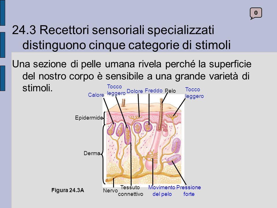 24.3 Recettori sensoriali specializzati distinguono cinque categorie di stimoli