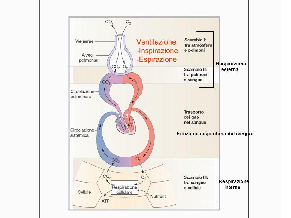Respirazione esterna. Funzione respiratoria del sangue. Funzione respiratoria del sangue. Respirazione.