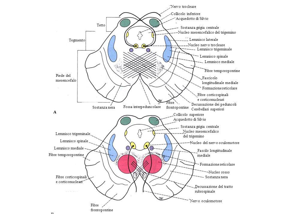 Nervo trocleare Collicolo inferiore. Acquedotto di Silvio. Tetto. Sostanza grigia centrale. Nucleo mesencefalico del trigemino.
