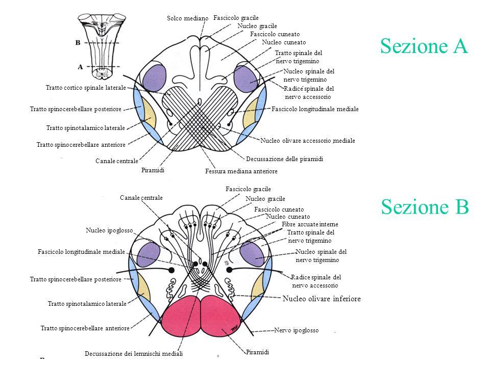 Sezione A Sezione B Nucleo olivare inferiore Solco mediano