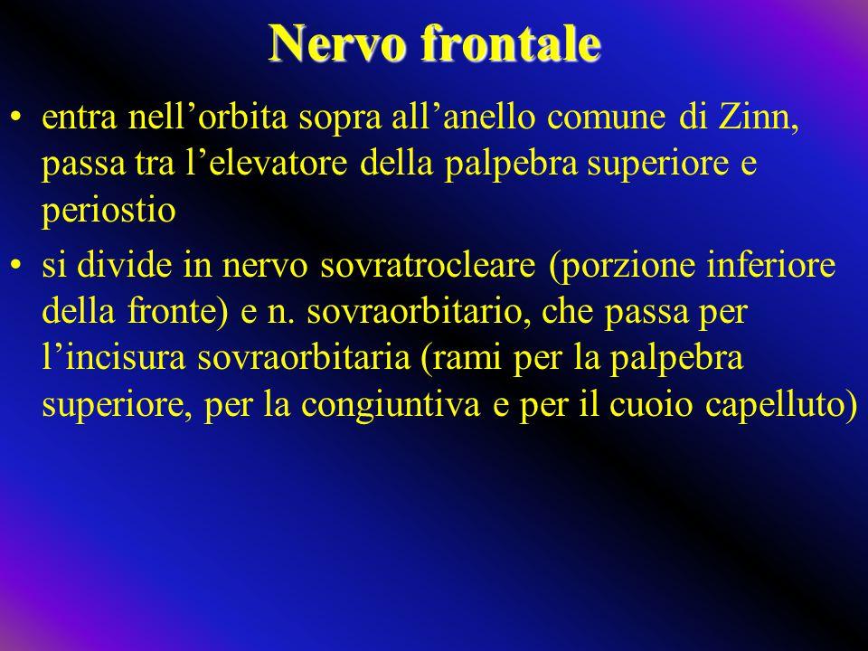 Nervo frontale entra nell'orbita sopra all'anello comune di Zinn, passa tra l'elevatore della palpebra superiore e periostio.