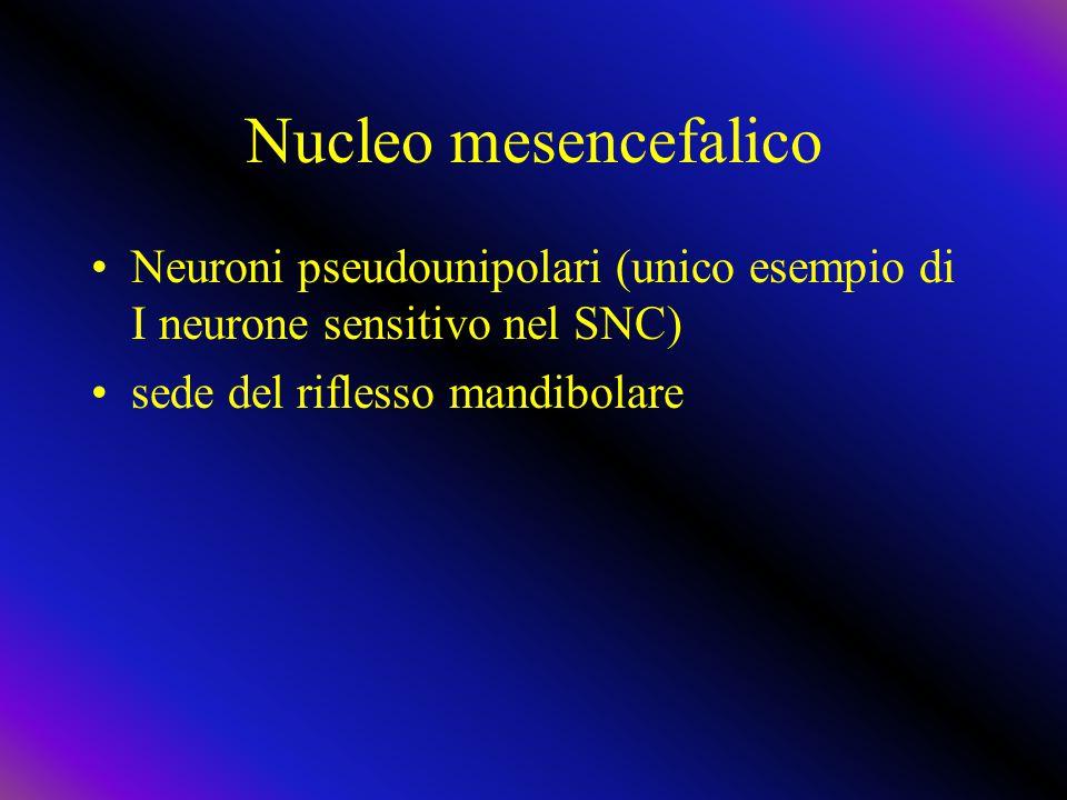 Nucleo mesencefalico Neuroni pseudounipolari (unico esempio di I neurone sensitivo nel SNC) sede del riflesso mandibolare.