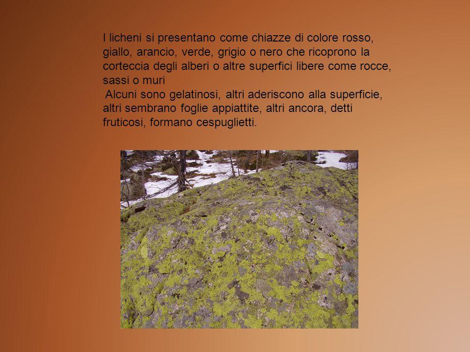 I licheni si presentano come chiazze di colore rosso, giallo, arancio, verde, grigio o nero che ricoprono la corteccia degli alberi o altre superfici libere come rocce, sassi o muri