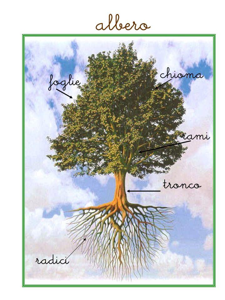 albero chioma foglie rami tronco radici