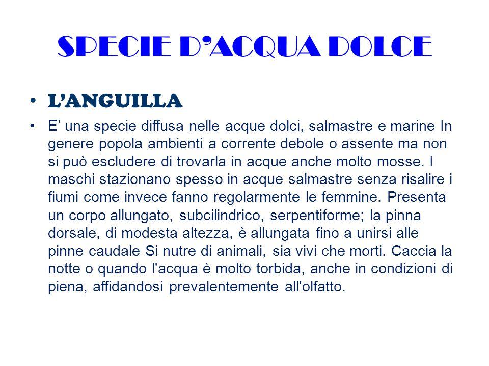 SPECIE D'ACQUA DOLCE L'ANGUILLA