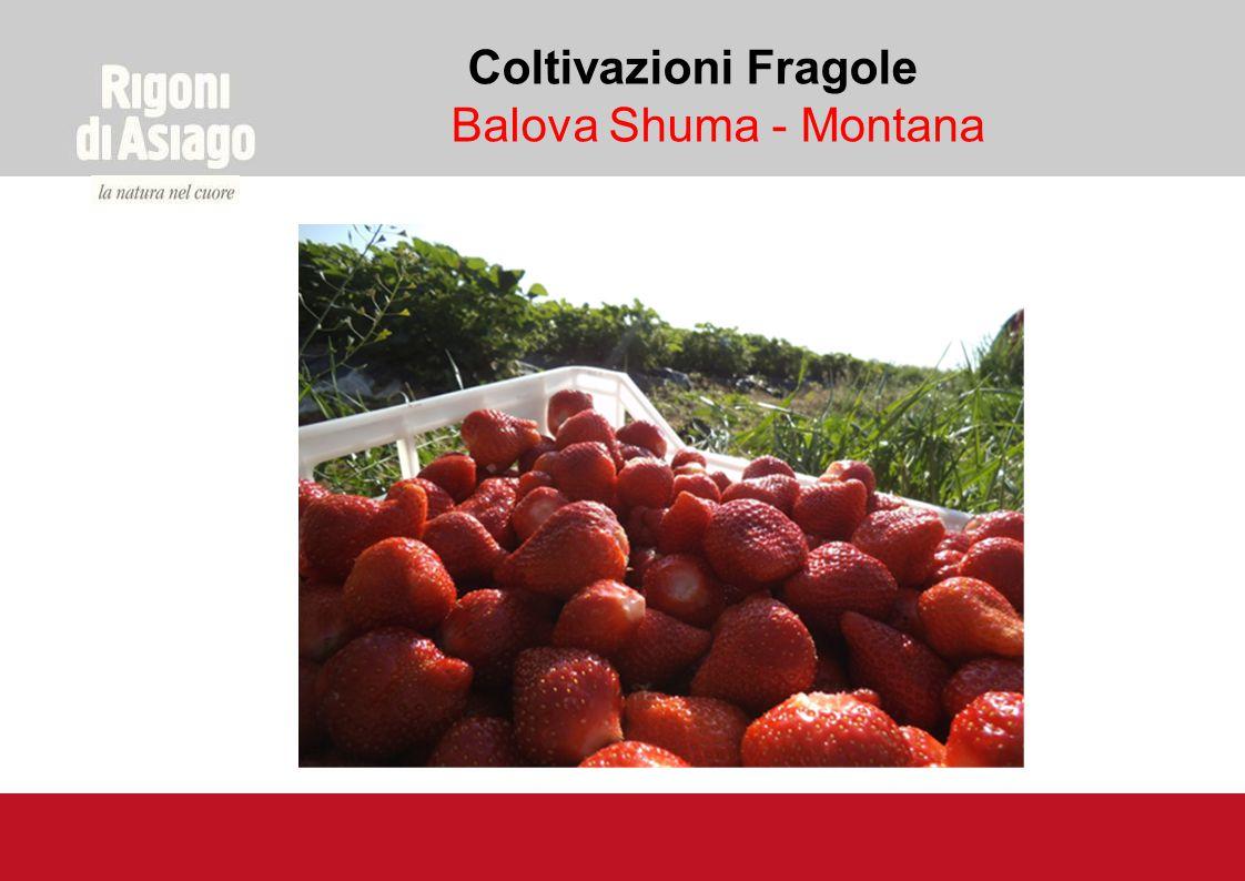 Coltivazioni Fragole Balova Shuma - Montana