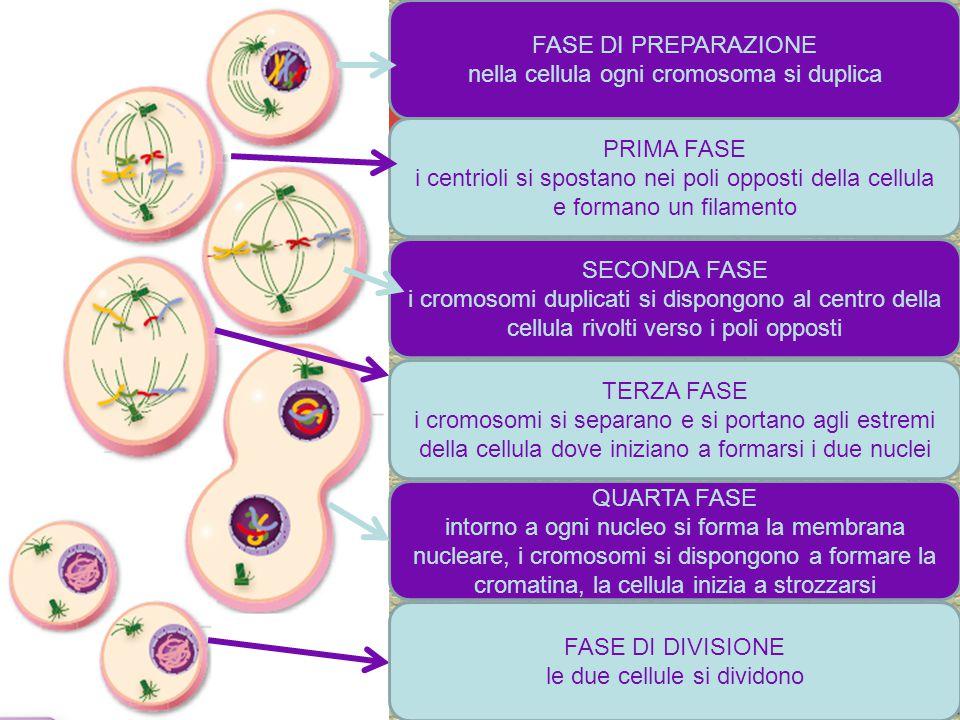 nella cellula ogni cromosoma si duplica