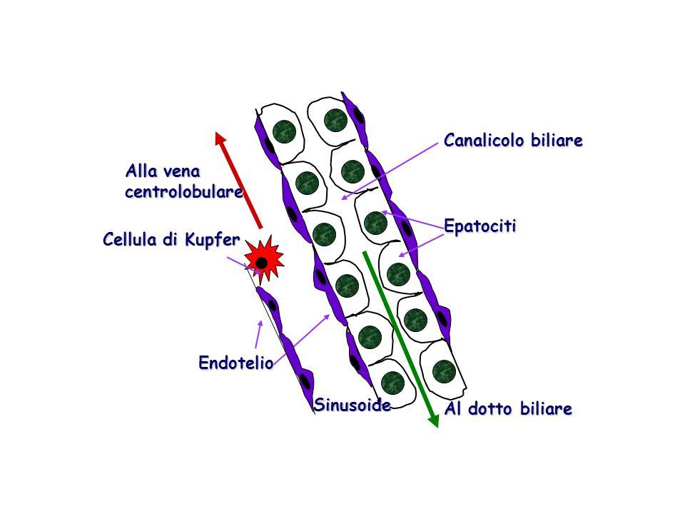Cellula di Kupfer Alla vena. centrolobulare. Al dotto biliare. Canalicolo biliare. Epatociti. Endotelio.